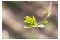 Lövsprickning DSC_2534